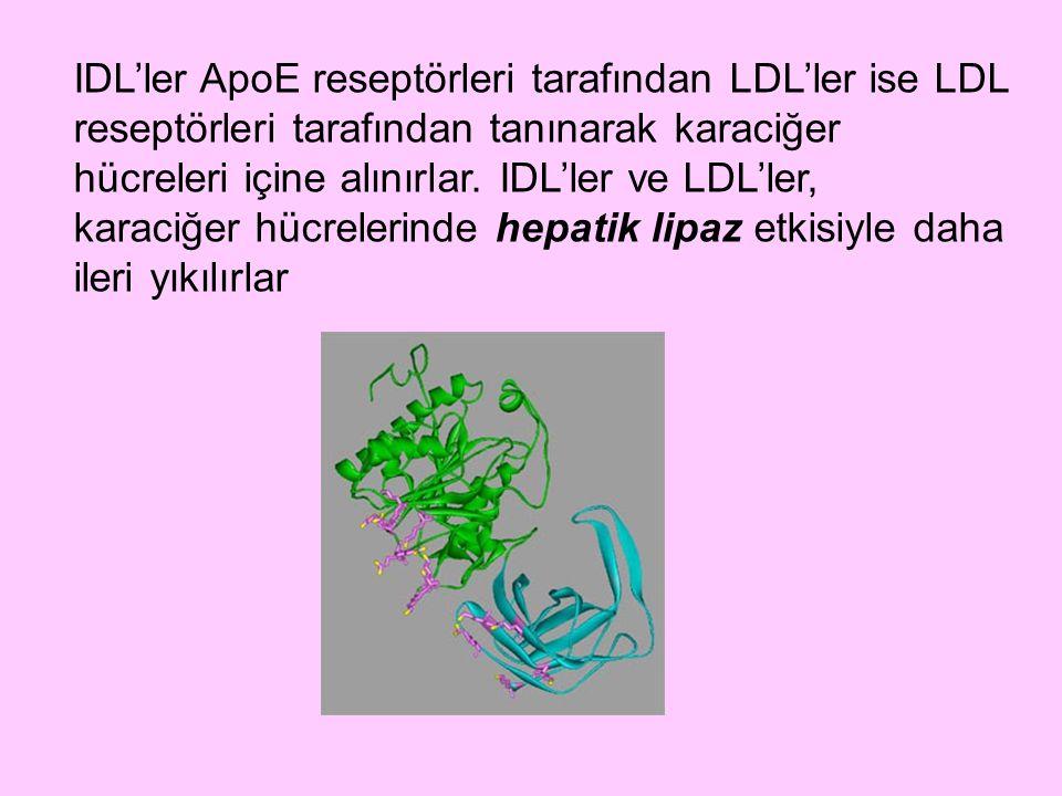 IDL'ler ApoE reseptörleri tarafından LDL'ler ise LDL reseptörleri tarafından tanınarak karaciğer hücreleri içine alınırlar. IDL'ler ve LDL'ler, karaci