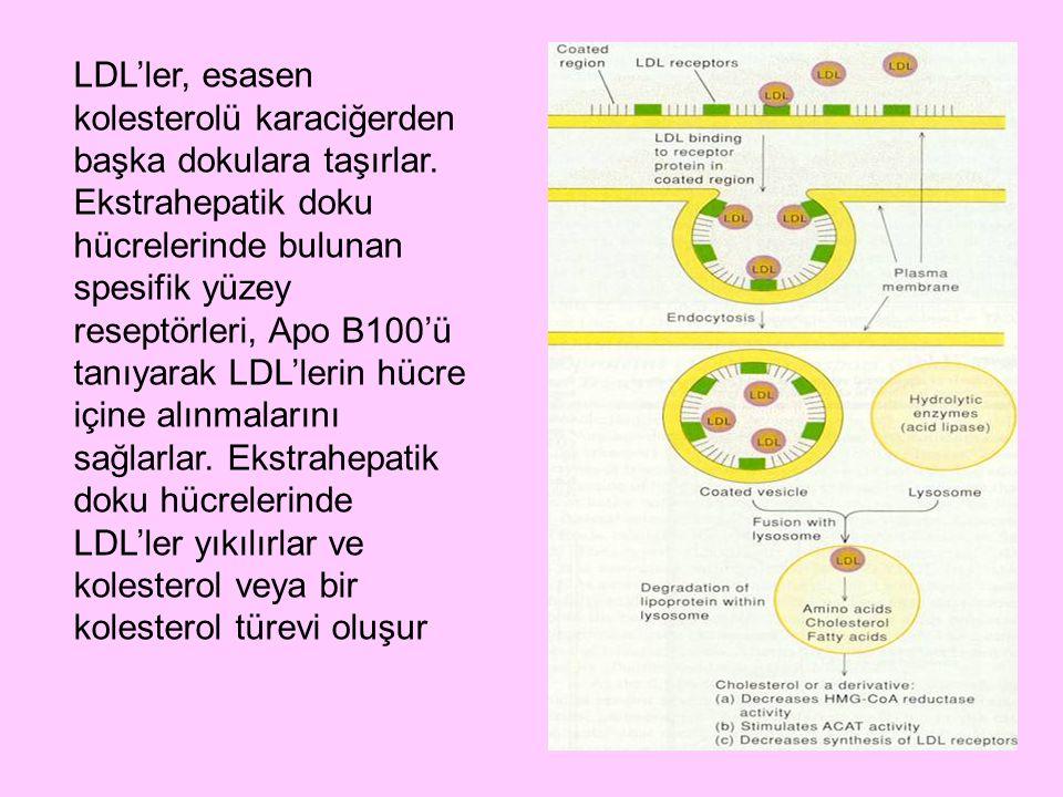 LDL'ler, esasen kolesterolü karaciğerden başka dokulara taşırlar. Ekstrahepatik doku hücrelerinde bulunan spesifik yüzey reseptörleri, Apo B100'ü tanı