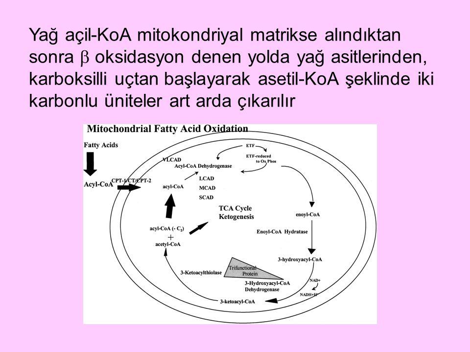 Yağ açil-KoA mitokondriyal matrikse alındıktan sonra  oksidasyon denen yolda yağ asitlerinden, karboksilli uçtan başlayarak asetil-KoA şeklinde iki k