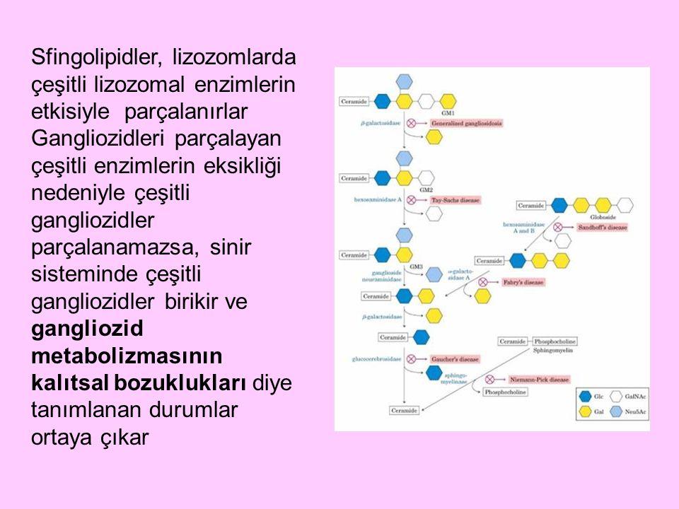 Sfingolipidler, lizozomlarda çeşitli lizozomal enzimlerin etkisiyle parçalanırlar Gangliozidleri parçalayan çeşitli enzimlerin eksikliği nedeniyle çeş