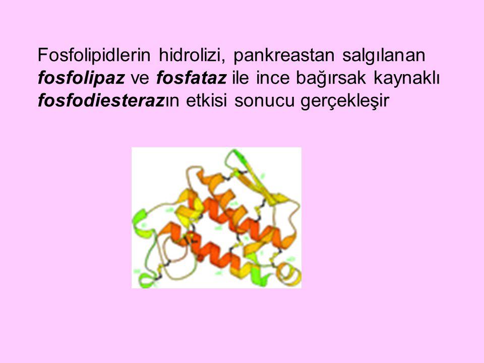 Fosfolipidlerin hidrolizi, pankreastan salgılanan fosfolipaz ve fosfataz ile ince bağırsak kaynaklı fosfodiesterazın etkisi sonucu gerçekleşir
