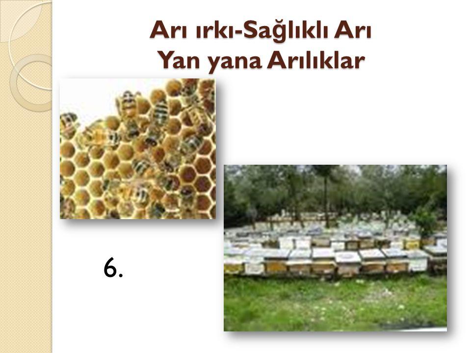 Arı ırkı-Sa ğ lıklı Arı Yan yana Arılıklar 6.