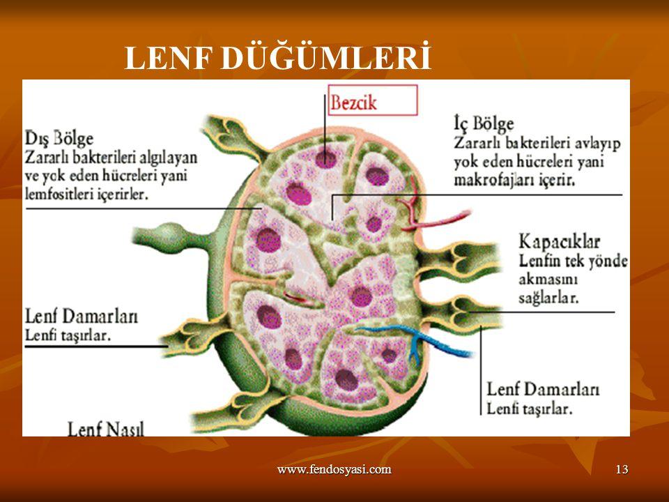 www.fendosyasi.com13 LENF DÜĞÜMLERİ