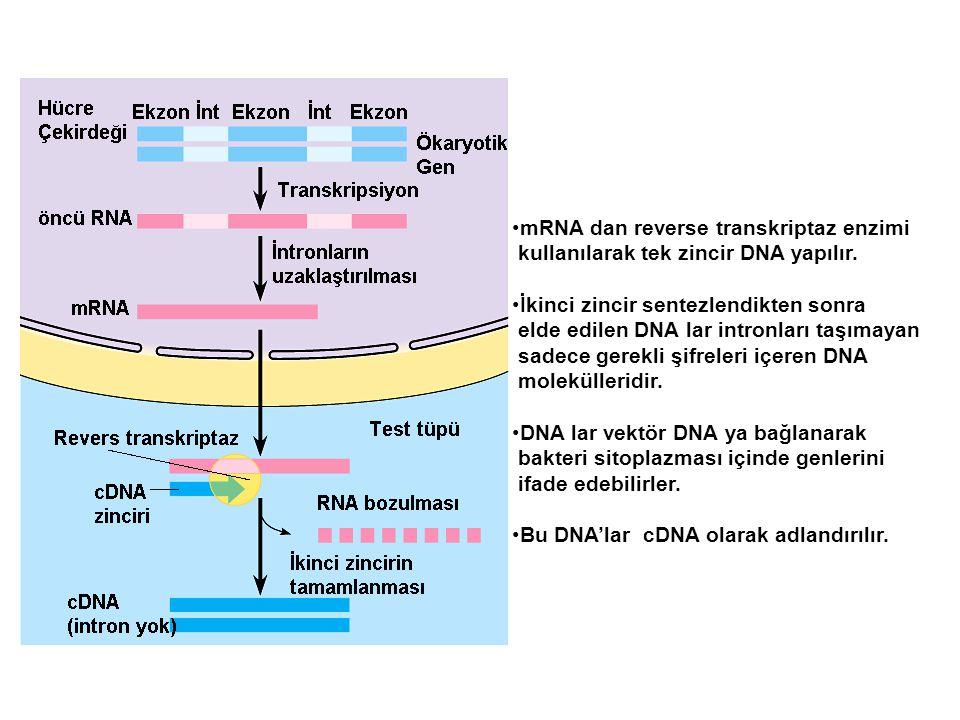mRNA dan reverse transkriptaz enzimi kullanılarak tek zincir DNA yapılır. İkinci zincir sentezlendikten sonra elde edilen DNA lar intronları taşımayan
