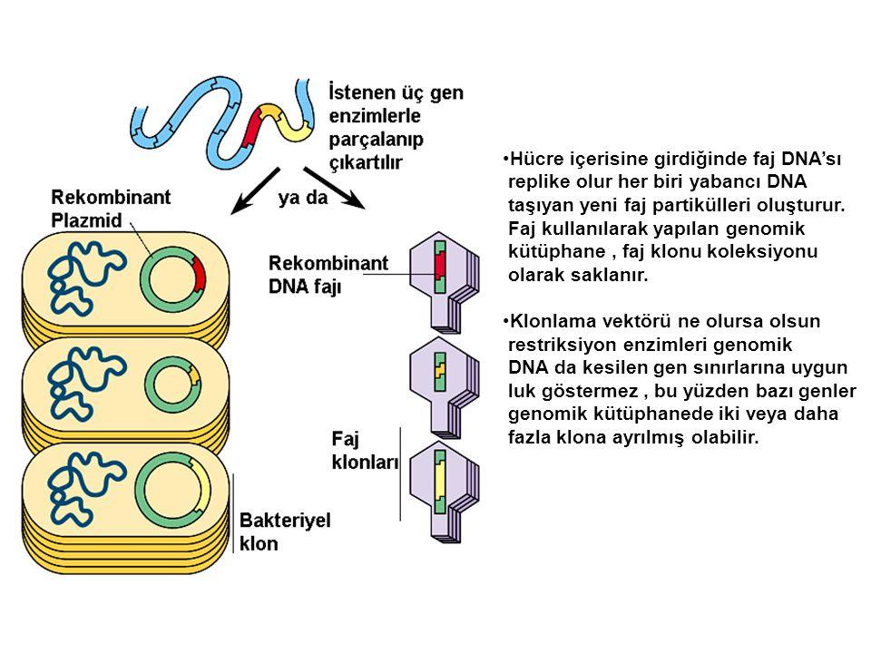 Hücre içerisine girdiğinde faj DNA'sı replike olur her biri yabancı DNA taşıyan yeni faj partikülleri oluşturur. Faj kullanılarak yapılan genomik kütü
