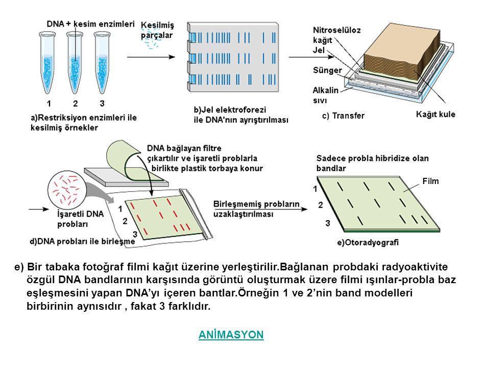 c) Transfer e) Bir tabaka fotoğraf filmi kağıt üzerine yerleştirilir.Bağlanan probdaki radyoaktivite özgül DNA bandlarının karşısında görüntü oluşturm