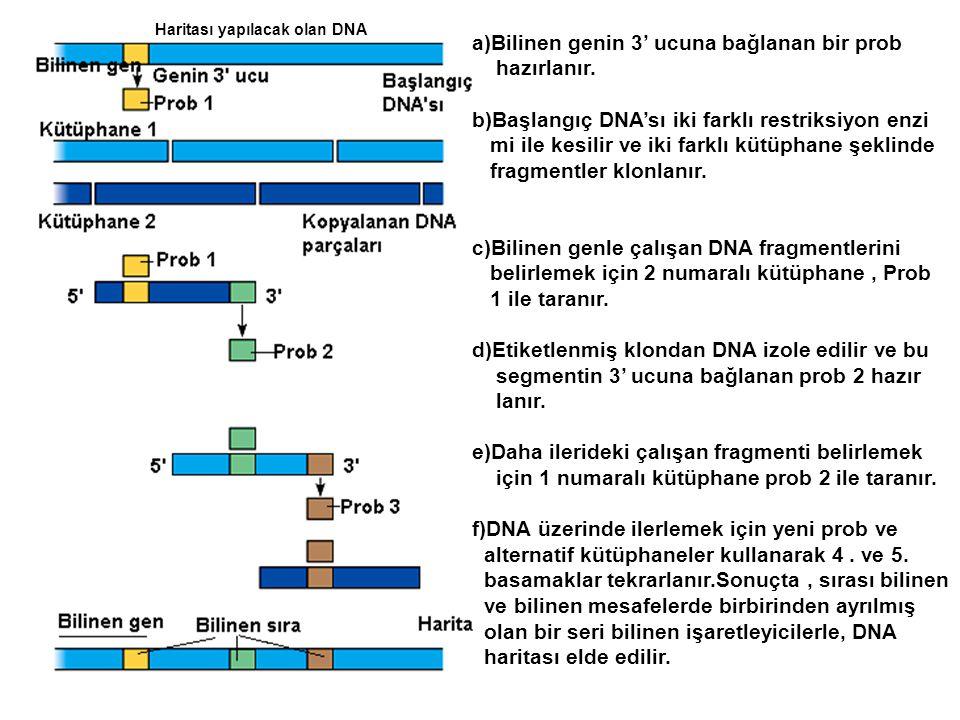 Haritası yapılacak olan DNA a)Bilinen genin 3' ucuna bağlanan bir prob hazırlanır. b)Başlangıç DNA'sı iki farklı restriksiyon enzi mi ile kesilir ve i