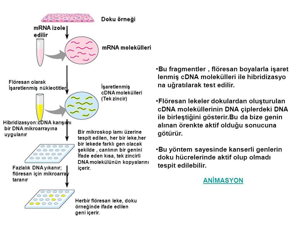 Flöresan olarak İşaretlenmiş nükleotitler İşaretlenmiş cDNA molekülleri (Tek zincir) Bir mikroskop lamı üzerine tespit edilen, her bir leke,her bir le