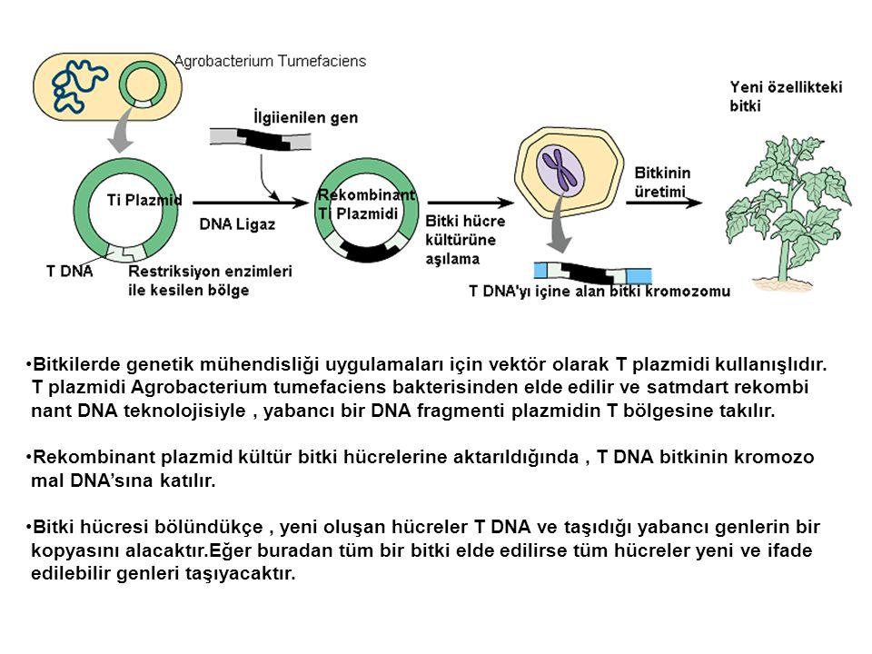 Bitkilerde genetik mühendisliği uygulamaları için vektör olarak T plazmidi kullanışlıdır. T plazmidi Agrobacterium tumefaciens bakterisinden elde edil