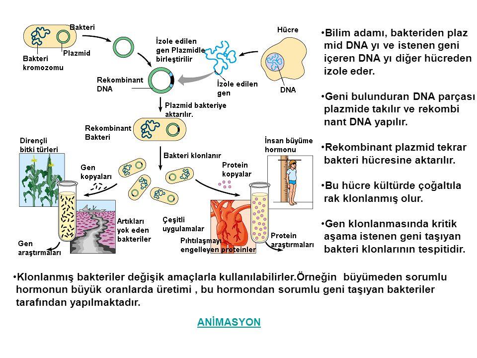 Bilim adamı, bakteriden plaz mid DNA yı ve istenen geni içeren DNA yı diğer hücreden izole eder. Geni bulunduran DNA parçası plazmide takılır ve rekom