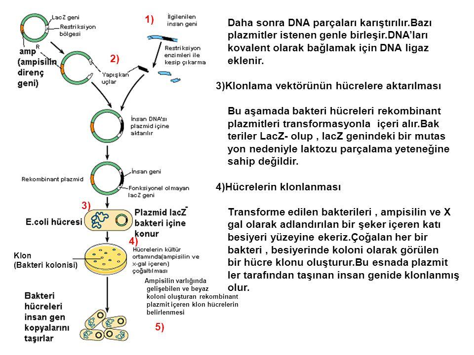 Ampisilin varlığında gelişebilen ve beyaz koloni oluşturan rekombinant plazmit içeren klon hücrelerin belirlenmesi Klon (Bakteri kolonisi) 1) 2) 3) 4)