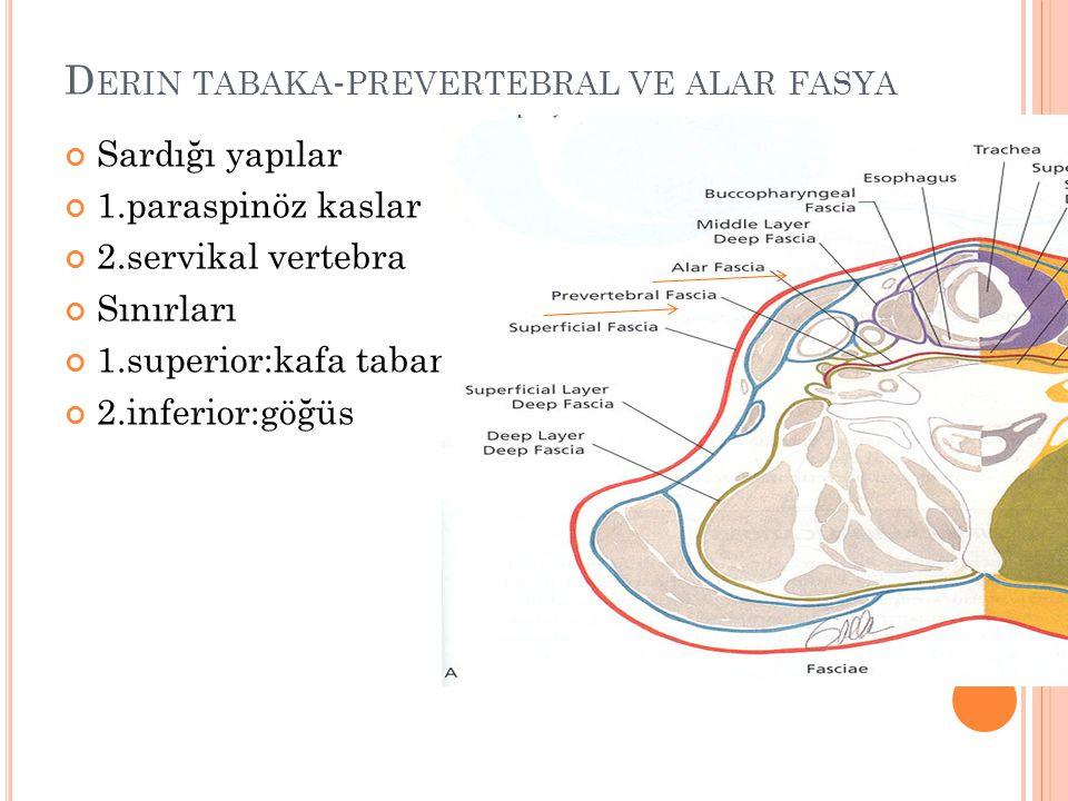 D ERIN TABAKA - PREVERTEBRAL VE ALAR FASYA Sardığı yapılar 1.paraspinöz kaslar 2.servikal vertebra Sınırları 1.superior:kafa tabanı 2.inferior:göğüs