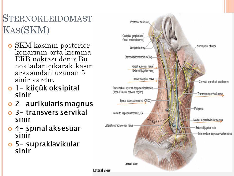 S TERNOKLEIDOMASTOID K AS (SKM) SKM kasının posterior kenarının orta kısmına ERB noktası denir.Bu noktadan çıkarak kasın arkasından uzanan 5 sinir vardır.