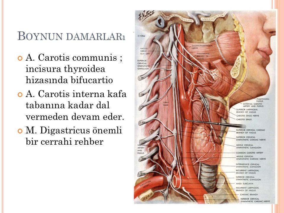 B OYNUN DAMARLARı A.Carotis communis ; incisura thyroidea hizasında bifucartio A.