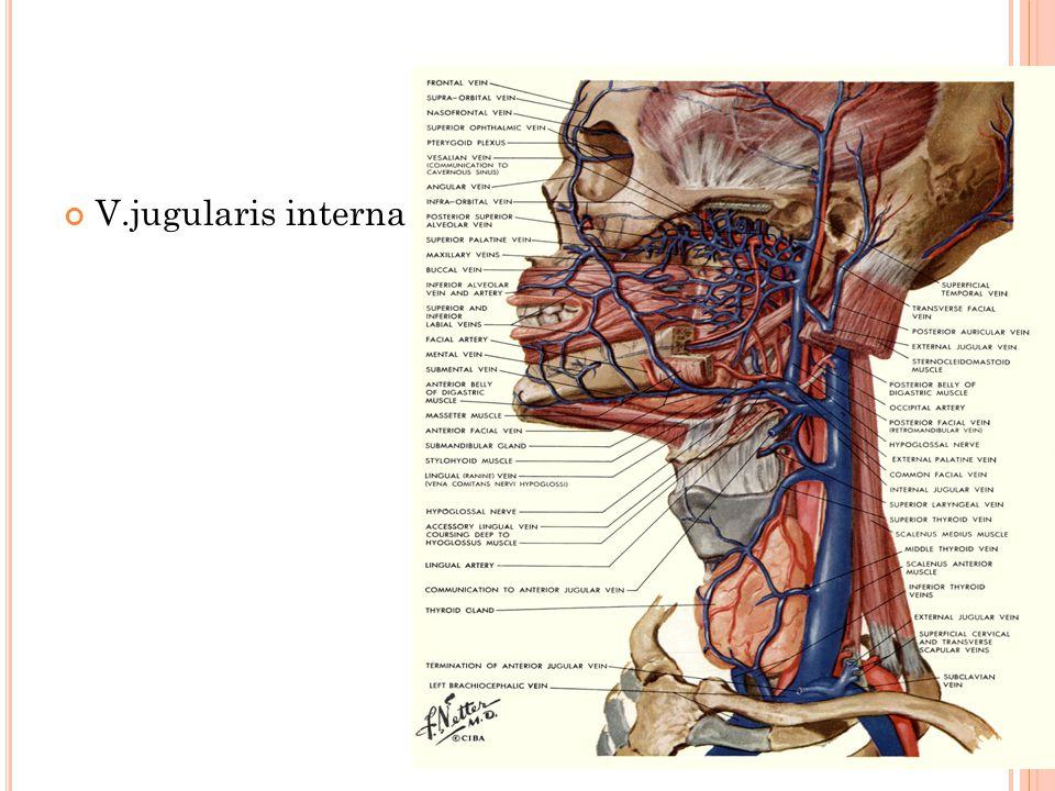 V.jugularis interna
