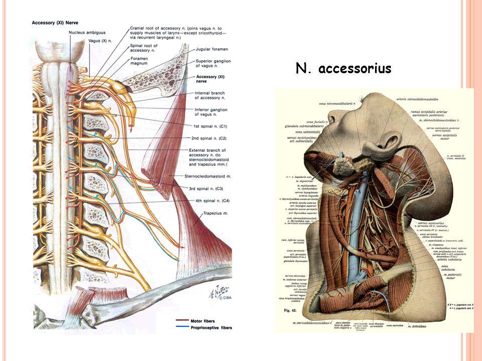 N. accessorius