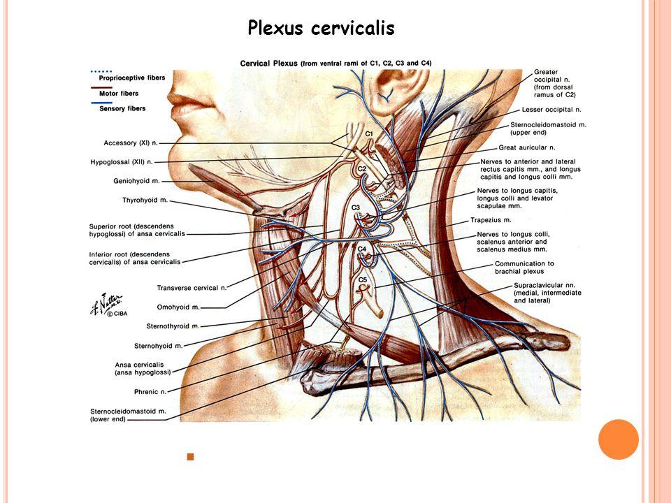 Plexus cervicalis C1-4 ventral ramusları