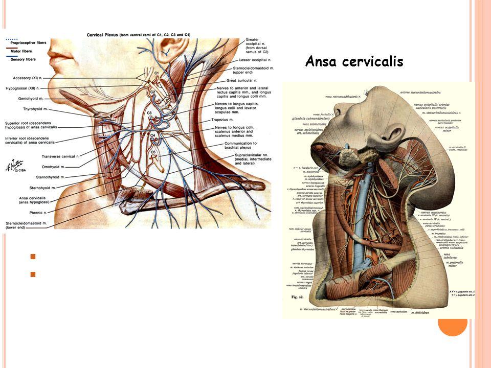 Ansa cervicalis Radix superior ansa cervicalis (C1) Radix inferior ansa cervicalis (C2-3)