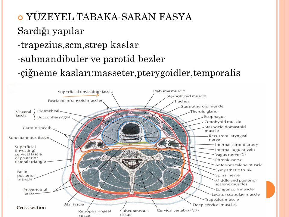 YÜZEYEL TABAKA-SARAN FASYA Sardığı yapılar -trapezius,scm,strep kaslar -submandibuler ve parotid bezler -çiğneme kasları:masseter,pterygoidler,temporalis