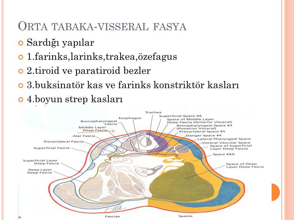 O RTA TABAKA - VISSERAL FASYA Sardığı yapılar 1.farinks,larinks,trakea,özefagus 2.tiroid ve paratiroid bezler 3.buksinatör kas ve farinks konstriktör kasları 4.boyun strep kasları Sınırları