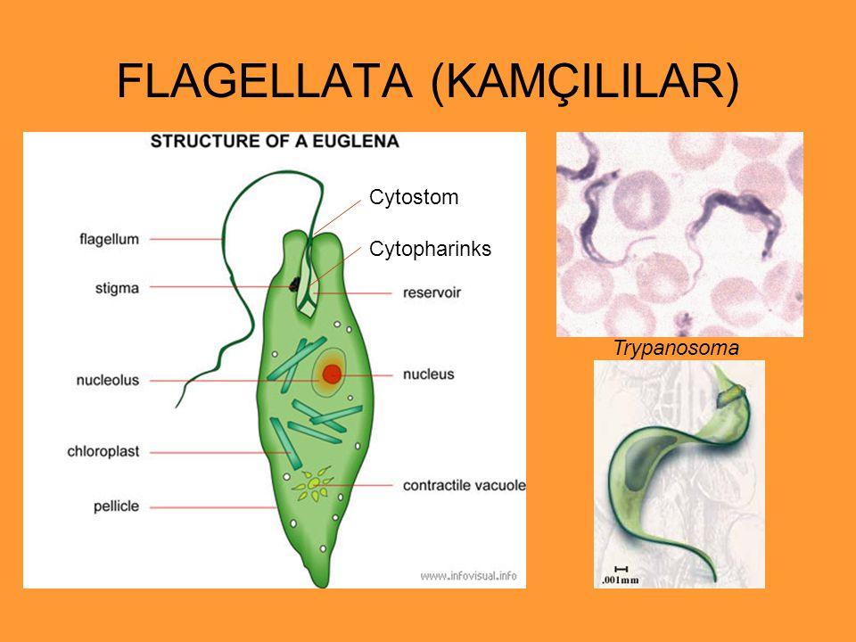 FLAGELLATA (KAMÇILILAR) Trypanosoma Cytostom Cytopharinks