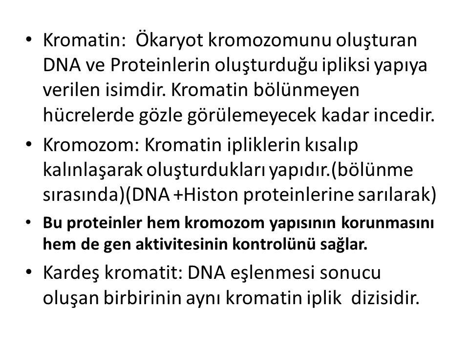 Kromatin: Ökaryot kromozomunu oluşturan DNA ve Proteinlerin oluşturduğu ipliksi yapıya verilen isimdir. Kromatin bölünmeyen hücrelerde gözle görülemey