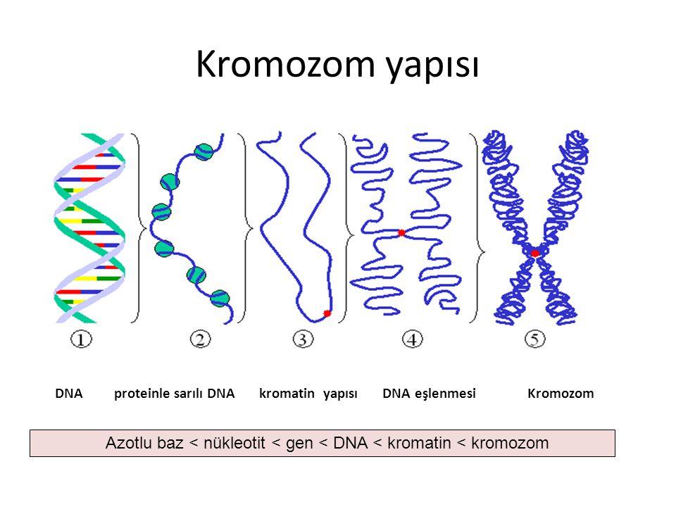Kromozom yapısı DNA proteinle sarılı DNA kromatin yapısı DNA eşlenmesi Kromozom Azotlu baz < nükleotit < gen < DNA < kromatin < kromozom