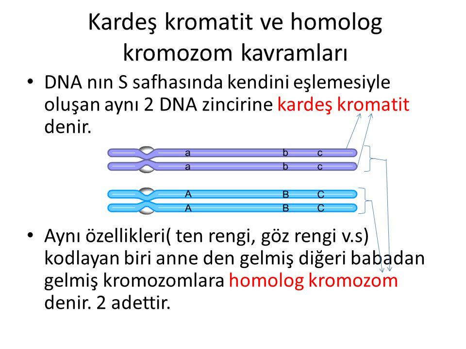 Kardeş kromatit ve homolog kromozom kavramları DNA nın S safhasında kendini eşlemesiyle oluşan aynı 2 DNA zincirine kardeş kromatit denir. Aynı özelli