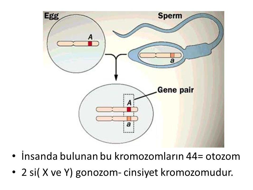 İnsanda bulunan bu kromozomların 44= otozom 2 si( X ve Y) gonozom- cinsiyet kromozomudur.