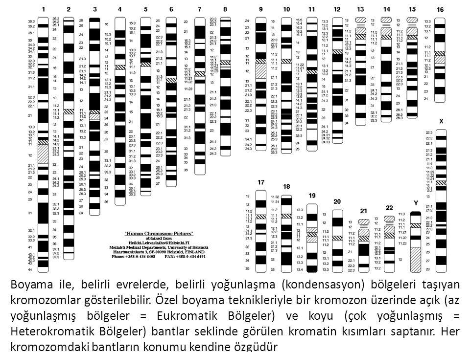 Boyama ile, belirli evrelerde, belirli yoğunlaşma (kondensasyon) bölgeleri taşıyan kromozomlar gösterilebilir. Özel boyama teknikleriyle bir kromozon