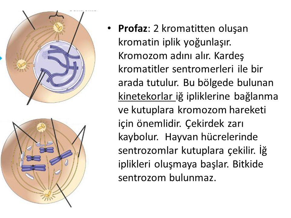 Profaz: 2 kromatitten oluşan kromatin iplik yoğunlaşır. Kromozom adını alır. Kardeş kromatitler sentromerleri ile bir arada tutulur. Bu bölgede buluna