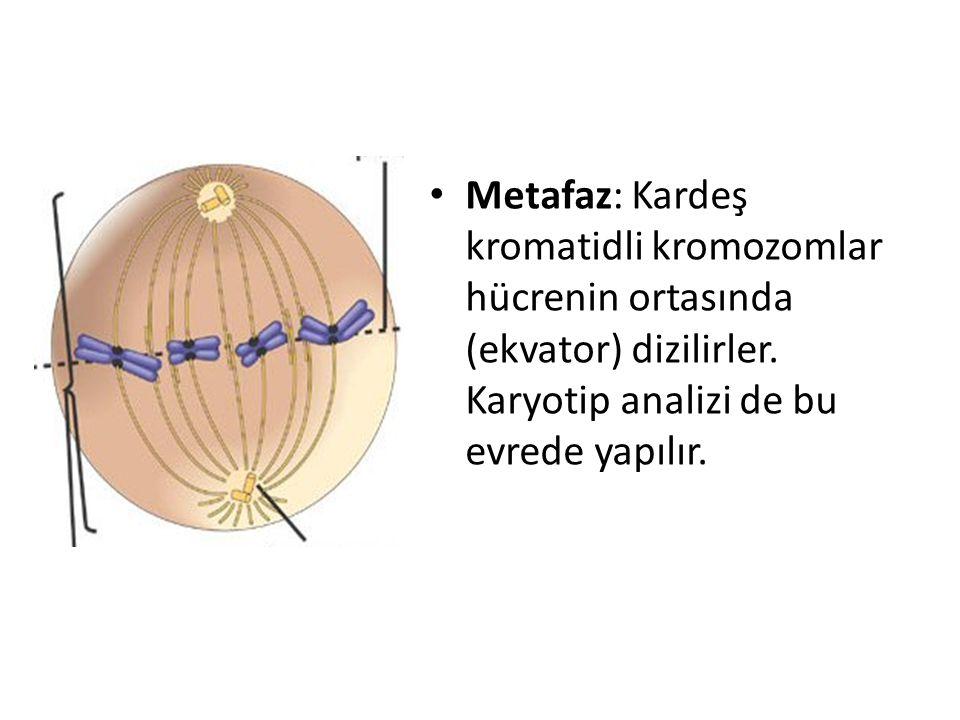Metafaz: Kardeş kromatidli kromozomlar hücrenin ortasında (ekvator) dizilirler. Karyotip analizi de bu evrede yapılır.