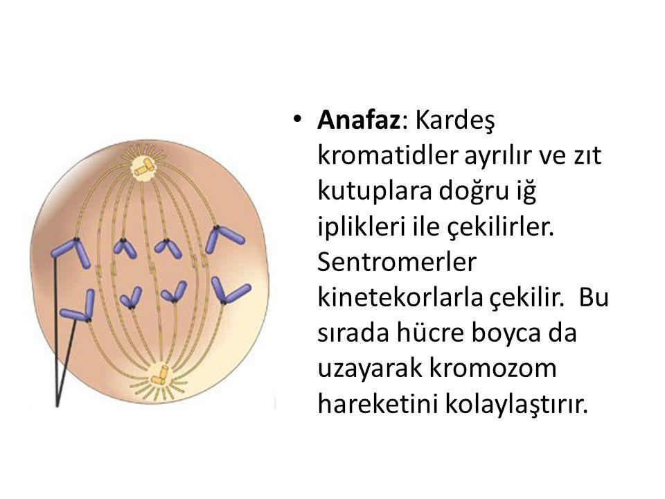 Anafaz: Kardeş kromatidler ayrılır ve zıt kutuplara doğru iğ iplikleri ile çekilirler. Sentromerler kinetekorlarla çekilir. Bu sırada hücre boyca da u