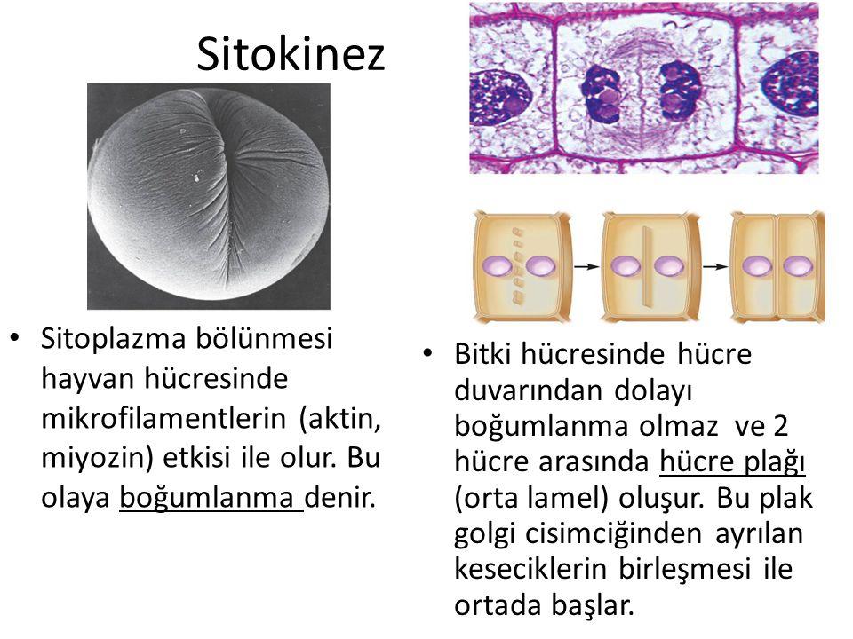 Sitokinez Sitoplazma bölünmesi hayvan hücresinde mikrofilamentlerin (aktin, miyozin) etkisi ile olur. Bu olaya boğumlanma denir. Bitki hücresinde hücr