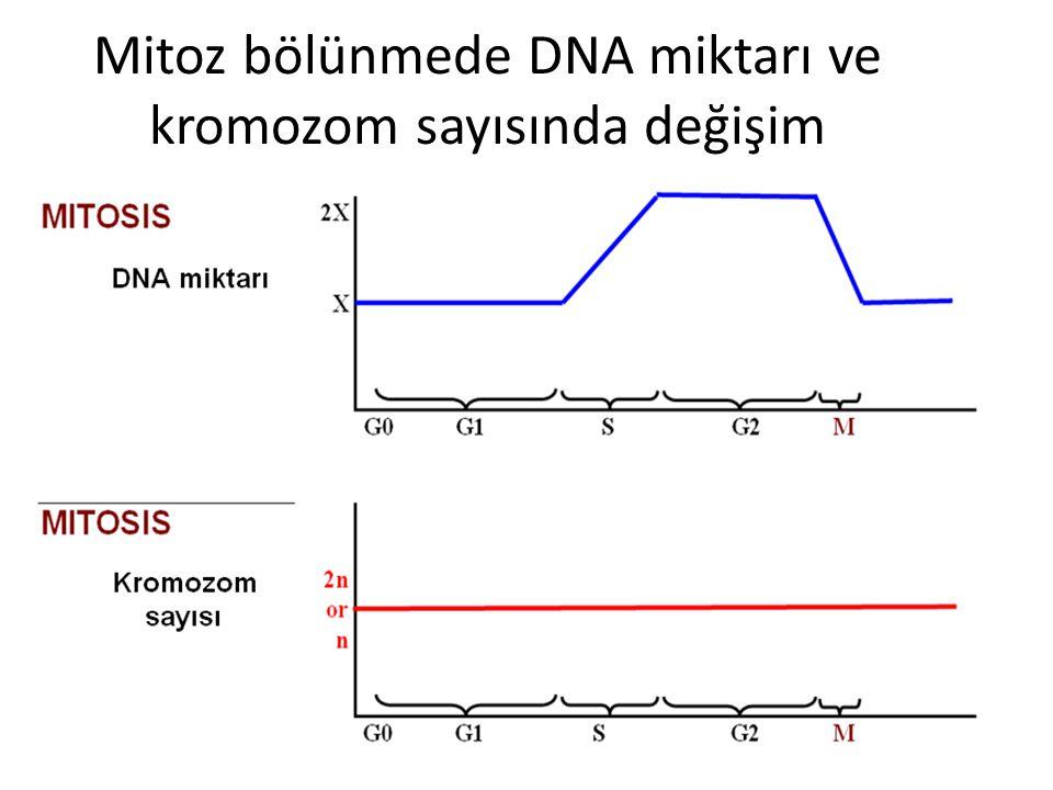 Mitoz bölünmede DNA miktarı ve kromozom sayısında değişim