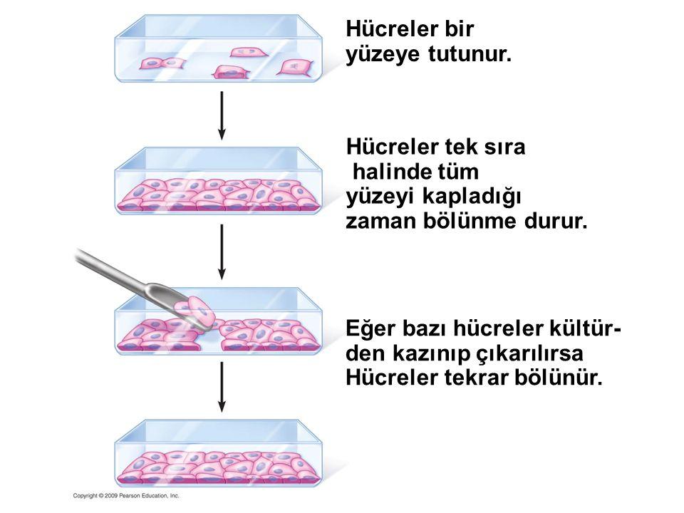 Hücreler bir yüzeye tutunur. Hücreler tek sıra halinde tüm yüzeyi kapladığı zaman bölünme durur. Eğer bazı hücreler kültür- den kazınıp çıkarılırsa Hü