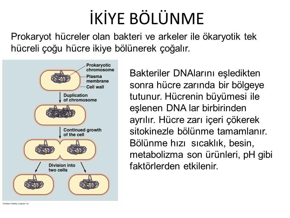 İKİYE BÖLÜNME Prokaryot hücreler olan bakteri ve arkeler ile ökaryotik tek hücreli çoğu hücre ikiye bölünerek çoğalır. Bakteriler DNAlarını eşledikten