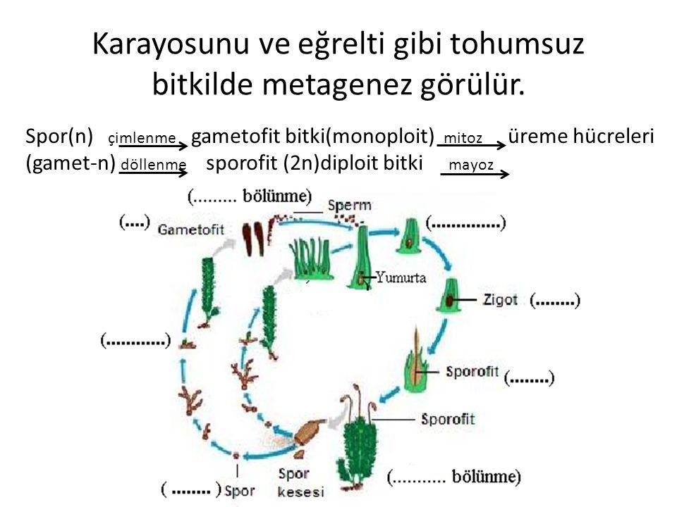 Karayosunu ve eğrelti gibi tohumsuz bitkilde metagenez görülür. Spor(n) çimlenme gametofit bitki(monoploit) mitoz üreme hücreleri (gamet-n) döllenme s