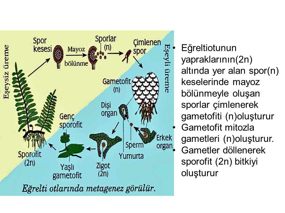 Eğreltiotunun yapraklarının(2n) altında yer alan spor(n) keselerinde mayoz bölünmeyle oluşan sporlar çimlenerek gametofiti (n)oluşturur Gametofit mito