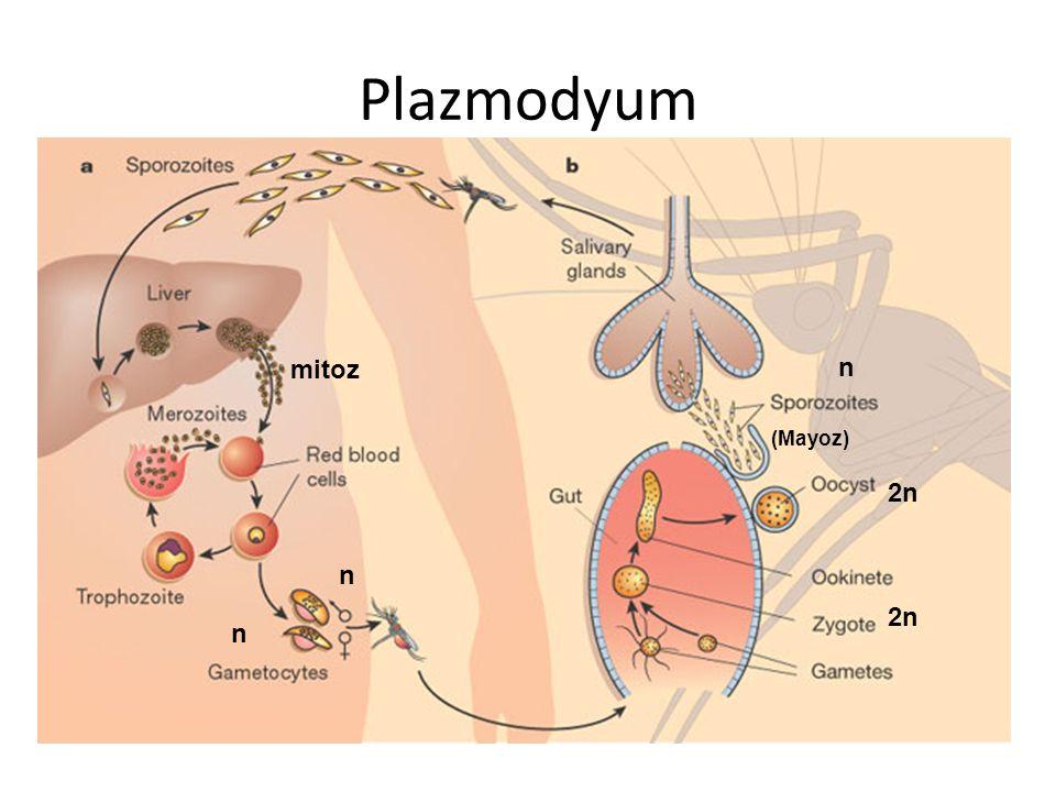 Plazmodyum 2n n n n (Mayoz) mitoz 2n