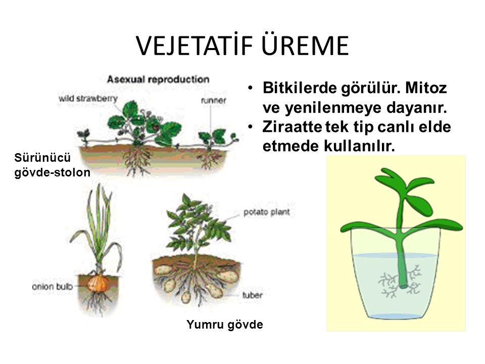VEJETATİF ÜREME Bitkilerde görülür. Mitoz ve yenilenmeye dayanır. Ziraatte tek tip canlı elde etmede kullanılır. Sürünücü gövde-stolon Yumru gövde