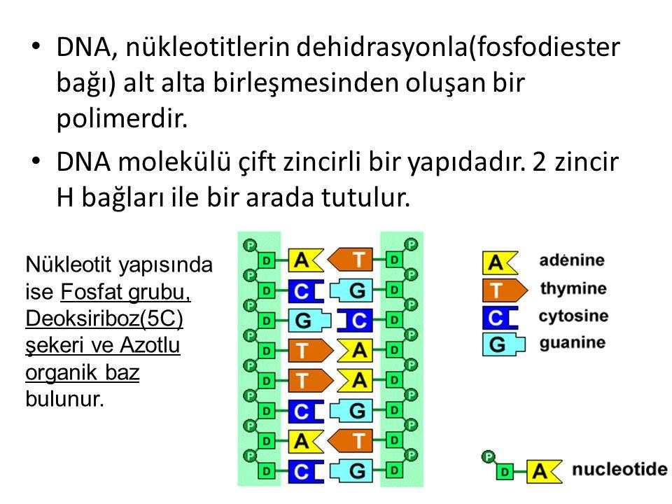 DNA, nükleotitlerin dehidrasyonla(fosfodiester bağı) alt alta birleşmesinden oluşan bir polimerdir. DNA molekülü çift zincirli bir yapıdadır. 2 zincir
