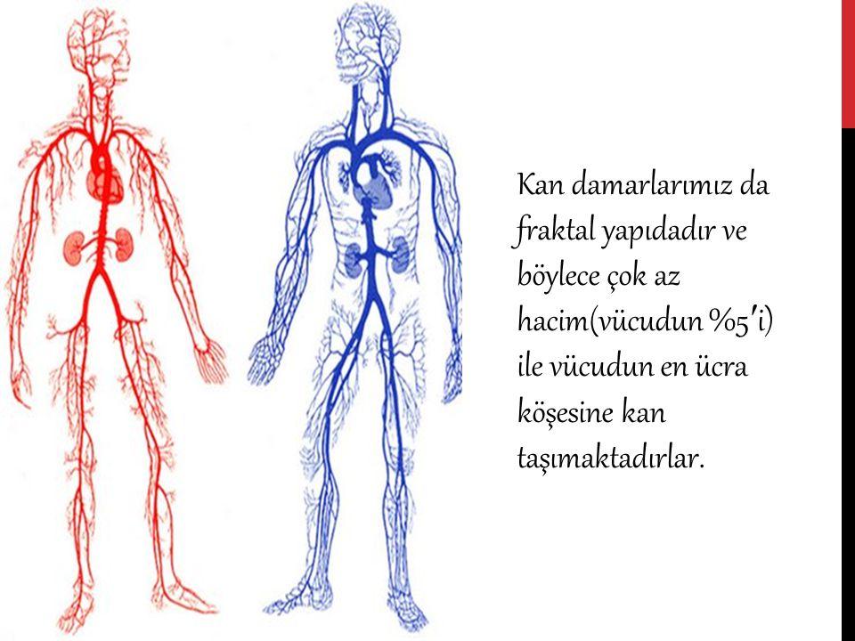 Kan damarlarımız da fraktal yapıdadır ve böylece çok az hacim(vücudun %5 ′ i) ile vücudun en ücra köşesine kan taşımaktadırlar.