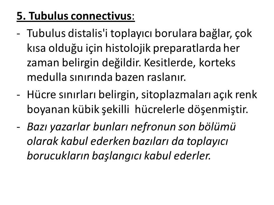 5. Tubulus connectivus: -Tubulus distalis'i toplayıcı borulara bağlar, çok kısa olduğu için histolojik preparatlarda her zaman belirgin değildir. Kesi
