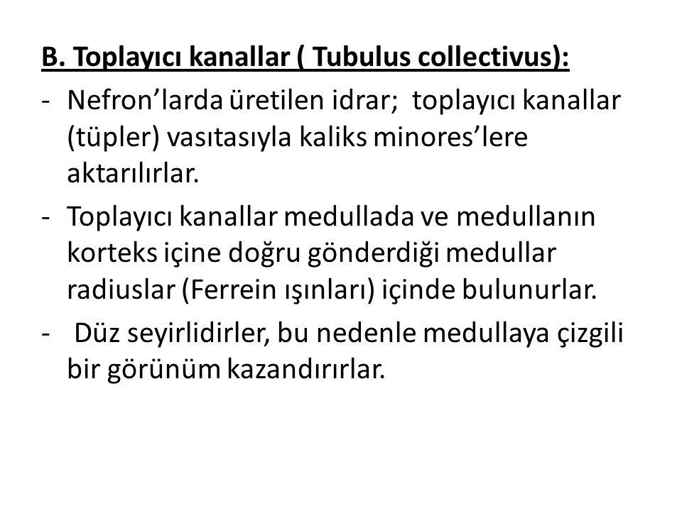 B. Toplayıcı kanallar ( Tubulus collectivus): -Nefron'larda üretilen idrar; toplayıcı kanallar (tüpler) vasıtasıyla kaliks minores'lere aktarılırlar.