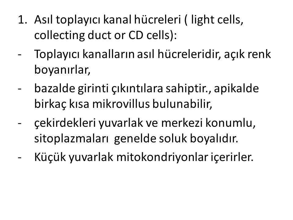 1.Asıl toplayıcı kanal hücreleri ( light cells, collecting duct or CD cells): -Toplayıcı kanalların asıl hücreleridir, açık renk boyanırlar, -bazalde