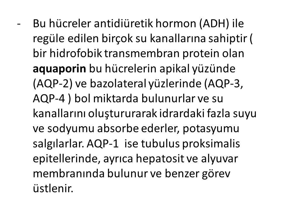-Bu hücreler antidiüretik hormon (ADH) ile regüle edilen birçok su kanallarına sahiptir ( bir hidrofobik transmembran protein olan aquaporin bu hücrelerin apikal yüzünde (AQP-2) ve bazolateral yüzlerinde (AQP-3, AQP-4 ) bol miktarda bulunurlar ve su kanallarını oluştururarak idrardaki fazla suyu ve sodyumu absorbe ederler, potasyumu salgılarlar.