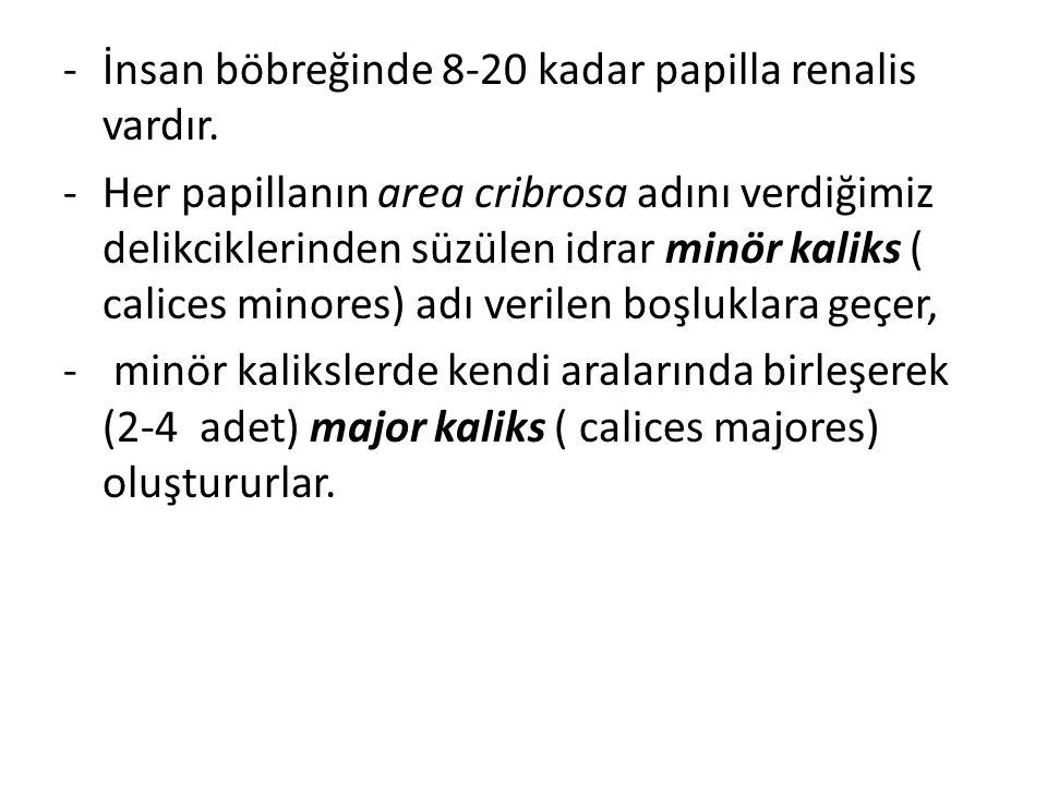 -İnsan böbreğinde 8-20 kadar papilla renalis vardır. -Her papillanın area cribrosa adını verdiğimiz delikciklerinden süzülen idrar minör kaliks ( cali