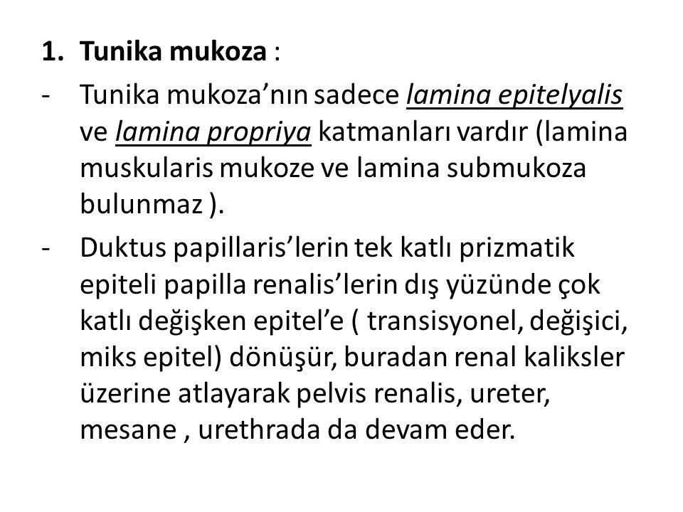 1.Tunika mukoza : -Tunika mukoza'nın sadece lamina epitelyalis ve lamina propriya katmanları vardır (lamina muskularis mukoze ve lamina submukoza bulunmaz ).