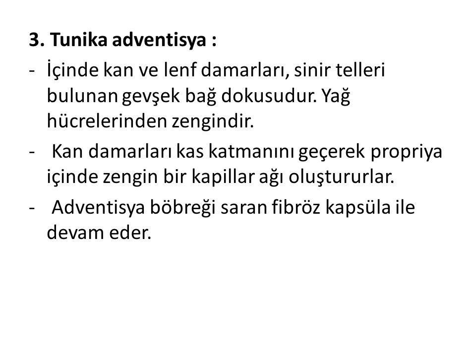 3.Tunika adventisya : -İçinde kan ve lenf damarları, sinir telleri bulunan gevşek bağ dokusudur.